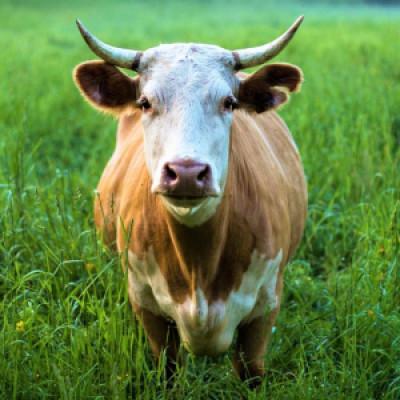 Народные приметы о коровах