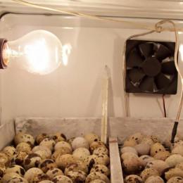 Как работает инкубатор для выведения яиц