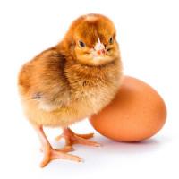 Почему не вылупляются цыплята и ошибки инкубации