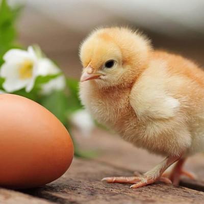 Температура в инкубаторе для выведения куриных яиц